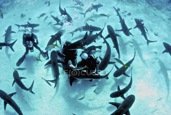 Кормление сумасбродные Карибские рифовые акулы — стоковое фото