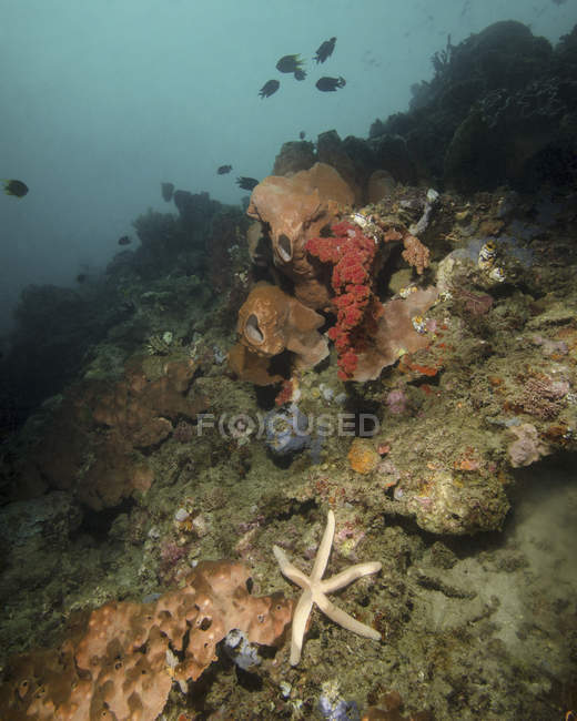 Starfish in diverse reef of Lembeh Strait — Stock Photo