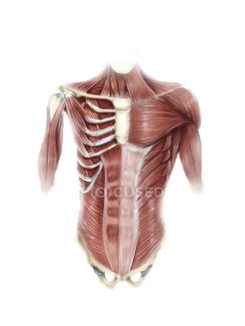 Músculos do tronco humano — Fotografia de Stock