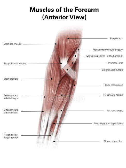 Illustration of muscles of forearm — Stock Photo