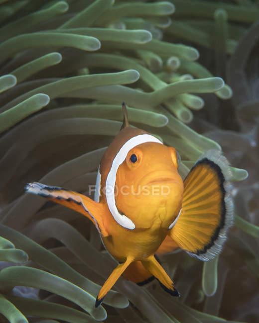 Ложная рыба-клоун в Северном Сулавеси — стоковое фото