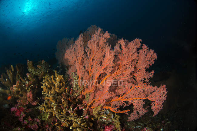 Sea fans on colorful reefs — Stock Photo