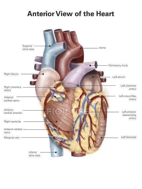 Corazón humano con etiquetas - foto de stock