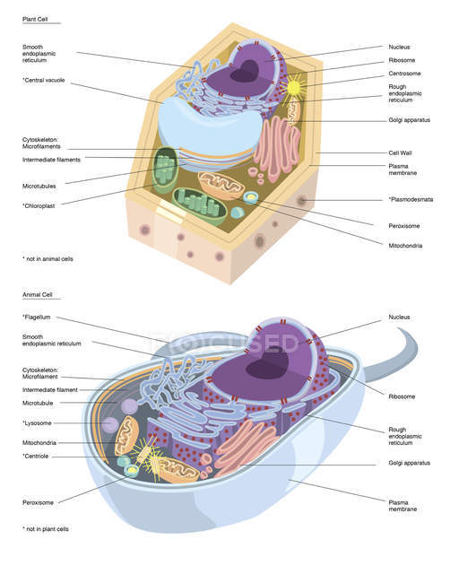 Plant and animal cell anatomy — Stock Photo