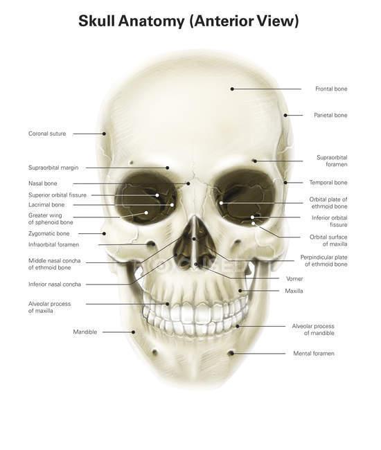 Menschlicher Schädel mit Etiketten — Stockfoto