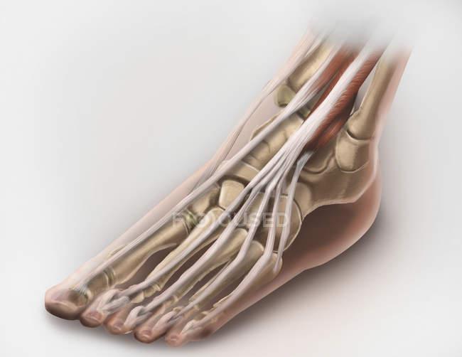 Músculos y tendones de las piernas - foto de stock