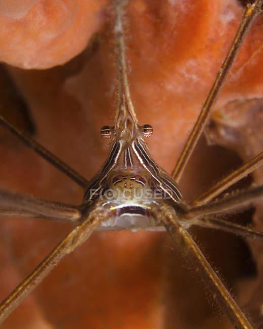 Granchio della freccia vicino a West Palm Beach — Foto stock