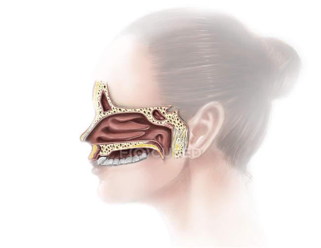 Nose and nasal sinus anatomy — Stock Photo