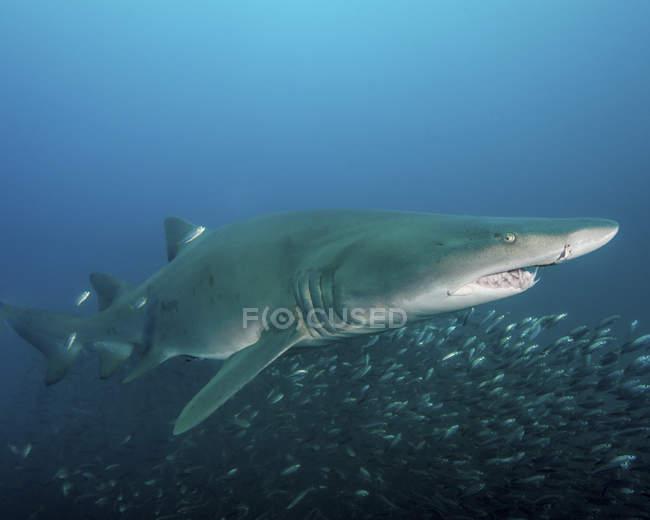 Tigerhai über Herde der Zigarre Elritzen — Stockfoto