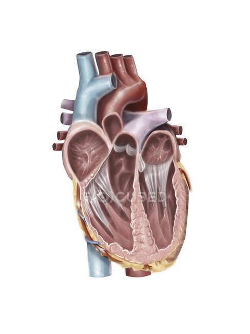 Vista interna del corazón humano - foto de stock