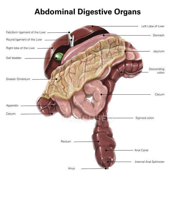 Órganos digestivos abdominales - foto de stock