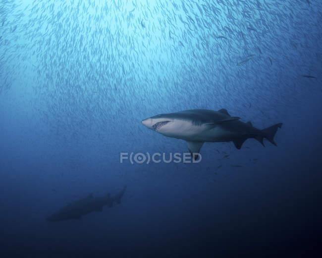 Tigerhaie und Herde der Zigarre Elritzen — Stockfoto