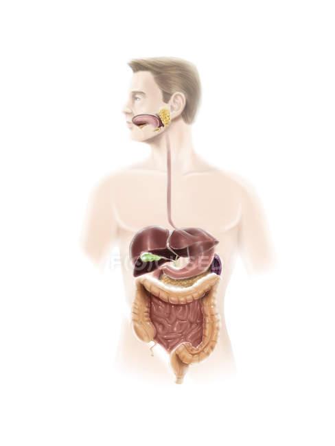 Sistema digestivo humano - foto de stock
