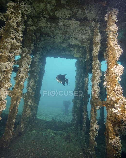 Espadon de l'Atlantique nageant dans une épave coulée — Photo de stock