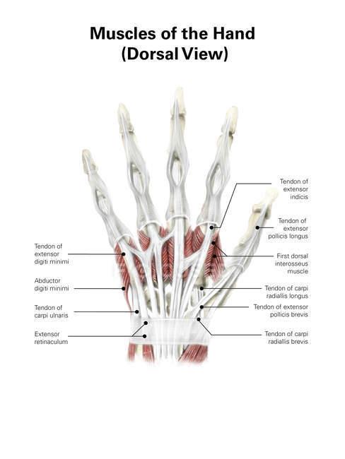 Ilustración de los músculos de la mano - foto de stock