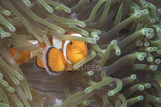 Pez payaso falso en Sulawesi del Norte - foto de stock