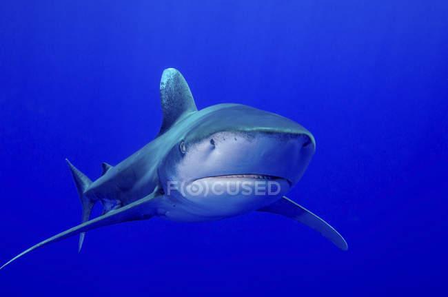 Weißspitzenhai — Stockfoto