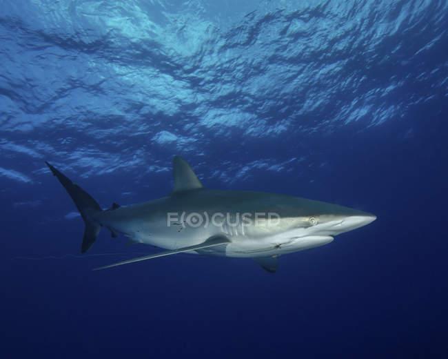 Tiburón sedoso con línea y anzuelo incrustado - foto de stock