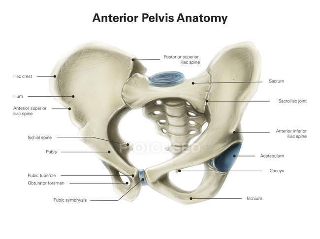 anterior view of human pelvis — stock photo