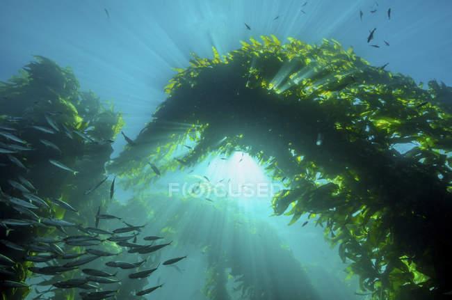 Sunburst durch riesige Seetang und Fisch Herde — Stockfoto