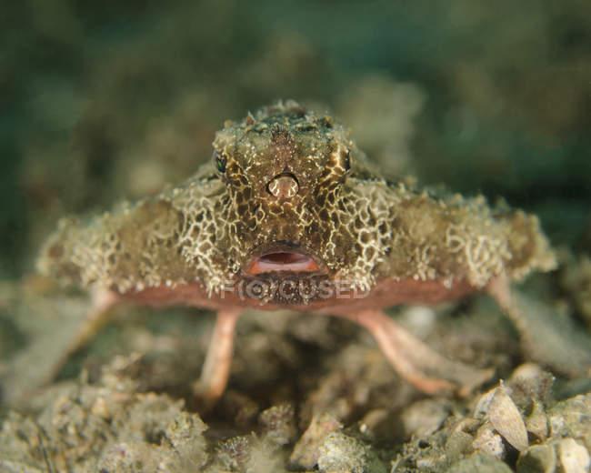 Vue de platax sur fond marin — Photo de stock