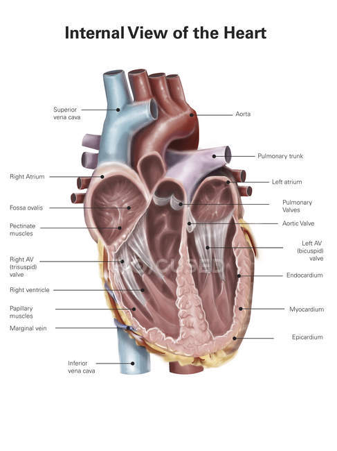 Pectinate Muscles : Behind the crest (crista terminalis) of the right atrium the internal surface is smooth.