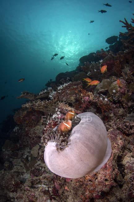 Anémona y pescado en el arrecife - foto de stock