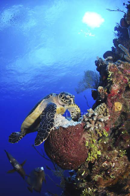 Habichtsschnabel-Meeresschildkröte und graue Skalare — Stockfoto