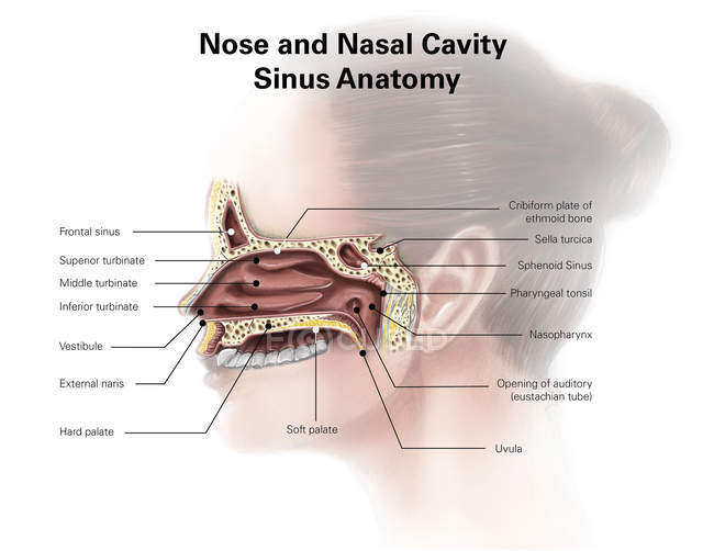 Nose and nasal cavity sinus anatomy — Stock Photo