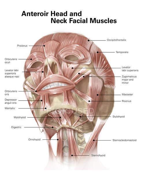 Músculos del cuello y faciales - foto de stock