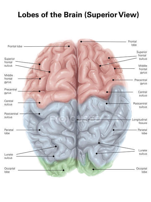 Human brain with colored lobes — Stock Photo
