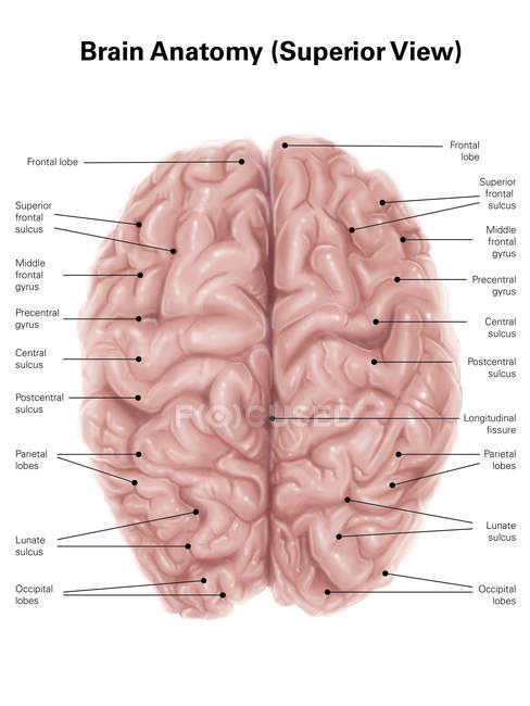 Human brain anatomy — Stock Photo