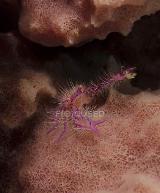 Фиолетовый приземистый омаров на Губка — стоковое фото