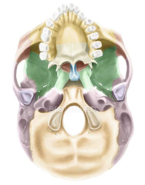 Base colorida do crânio humano — Fotografia de Stock