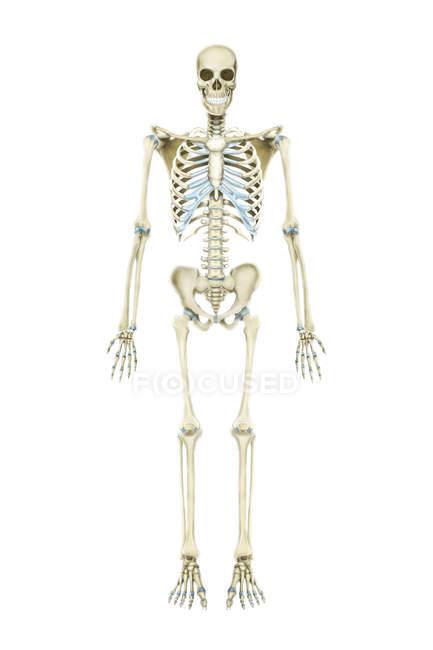 Скелетних системи людини — стокове фото