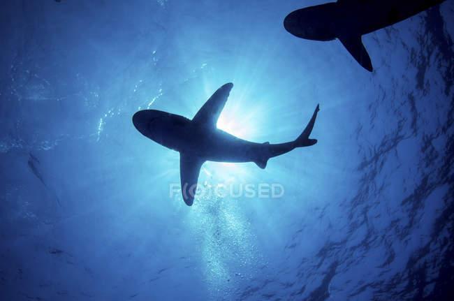 Siluetas de tiburones oceánicos de etiqueta blanca - foto de stock