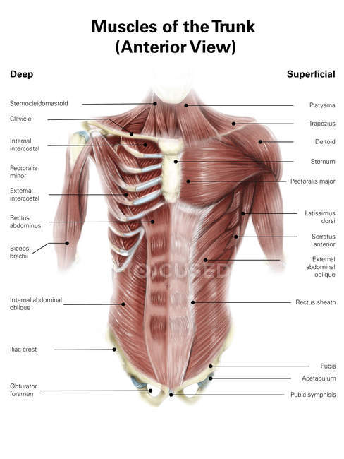 Músculos del torso humano - foto de stock