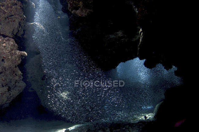 Silverside fish in tunnels at Eden Rock — Stock Photo