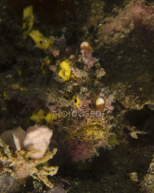 Warty frogfish in Lembeh Strait — Stock Photo