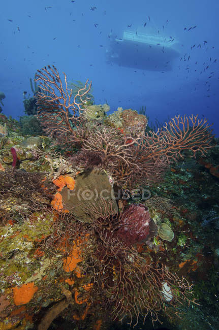 Coral negro en arrecife - foto de stock