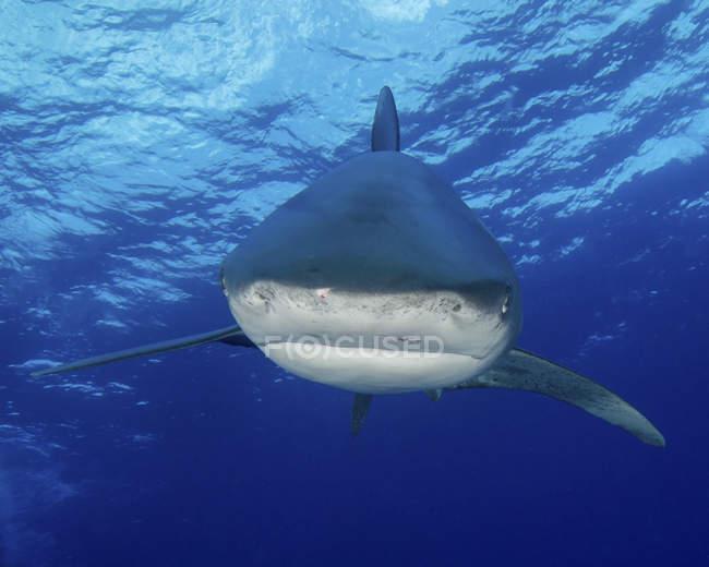 Weißspitzenhai in der Nähe von Bahamas — Stockfoto