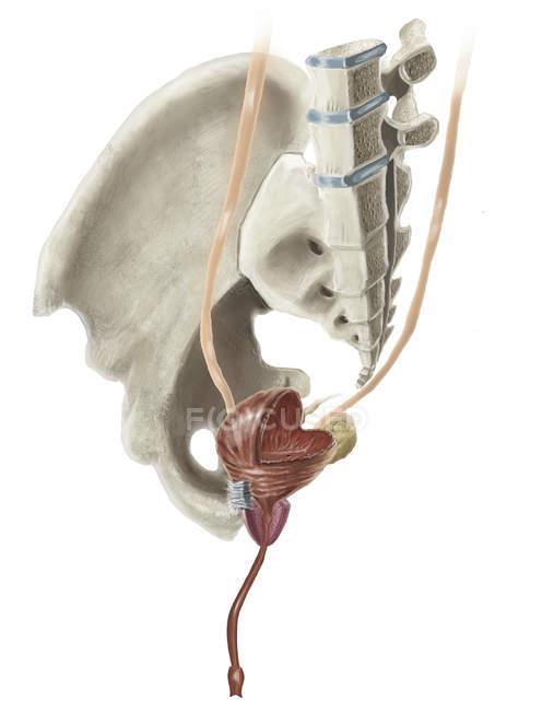 Human pelvis anatomy and male bladder — Stock Photo