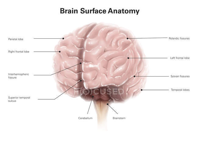 Brain surface anatomy — Stock Photo