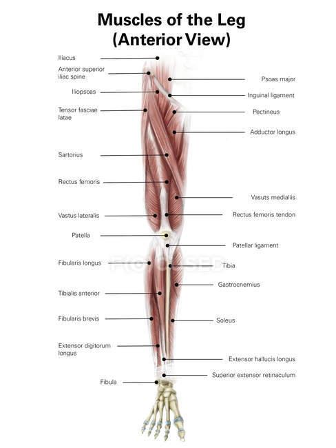 Ilustración de los músculos anteriores de la pierna - foto de stock