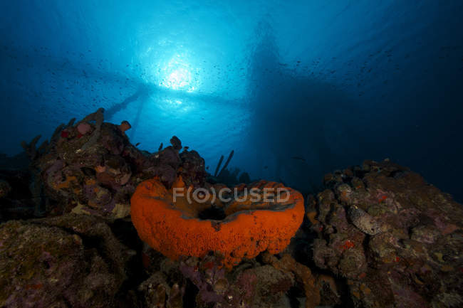 Elephant ear sponge under Salt pier — Stock Photo