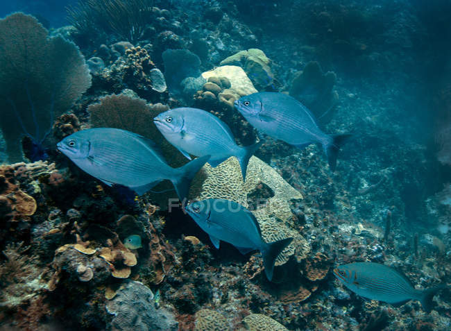 Bermudes Chubs nager sur la barrière de corail — Photo de stock