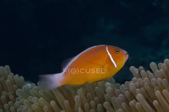 Pesci pagliaccio nuotare vicino anemone ospite — Foto stock