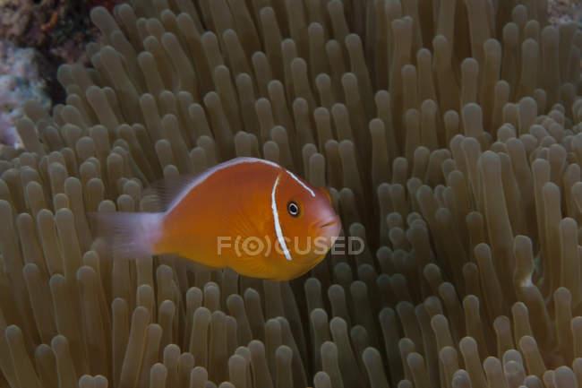 Clownfish swimming near host anemone — стоковое фото