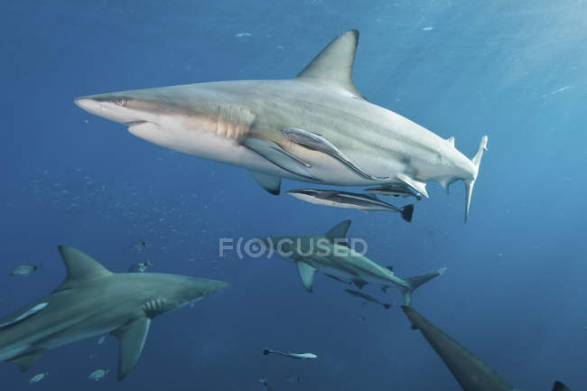 Oceanic blacktip sharks swimming with remoras — Stock Photo