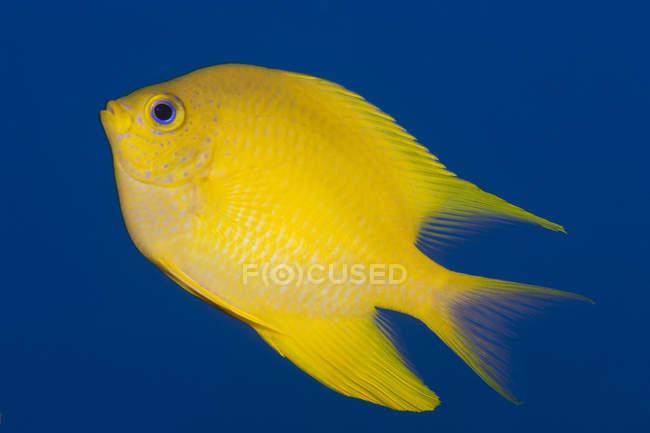 Golden damselfish closeup shot — Stock Photo